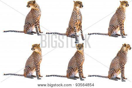 Six cheetahs