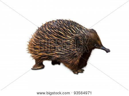 Echidna isolated