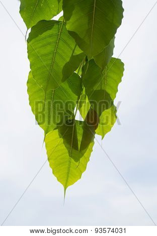 Natural Green Leaf On A White Sky Background.