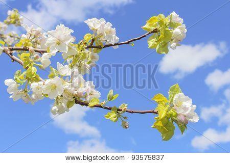Flowering Branch Of Apple