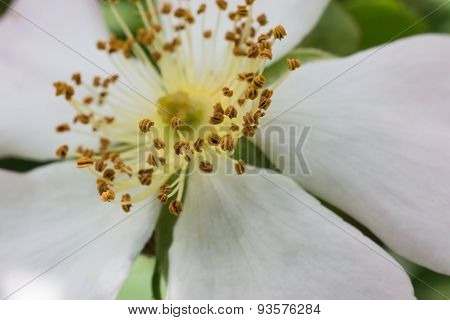 Cloeup Of A White Flower's Pollen
