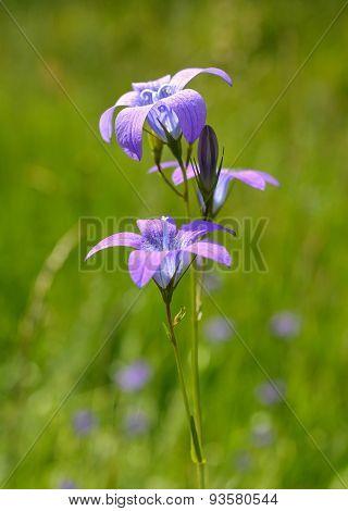 Campanula carpatica (Carpathian harebell, tussock bellflower)