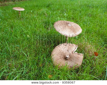Large Parasol Mushroom