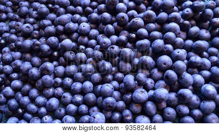 Panorama Of Many Blueberries