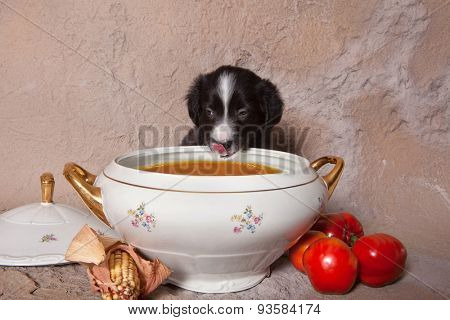 Funny little border collie puppy tempted to eat tomato soup