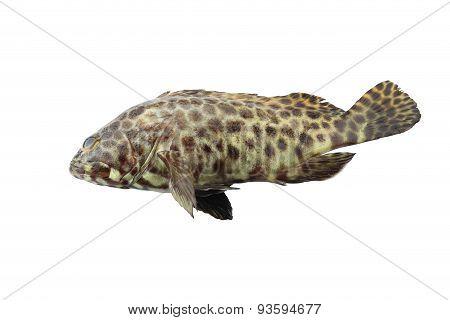 Grouper Fish Isolated On White Background.