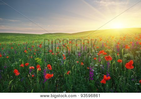 Spring meadow of poppies flowers. Composition of nature.
