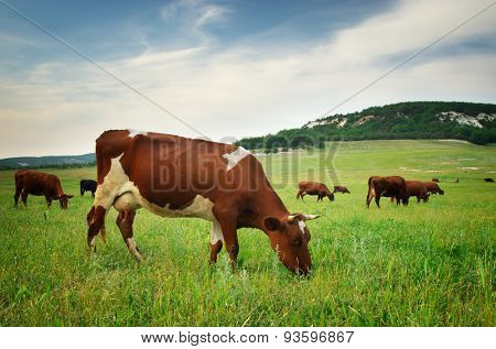 Cow in meadow. Nature composition
