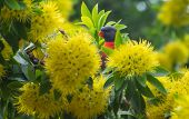 picture of peeking  - Rainbow lorikeet peeking through the yellow flowers of a tree - JPG