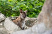 picture of wallabies  - Closeup of a Red - JPG