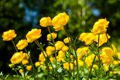 image of cowslip  - yellow flowers italmas on a green meadow - JPG