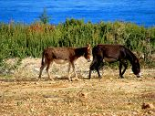 picture of donkey  - Donkeys admiring the mountain landscape in North Cyprus - JPG