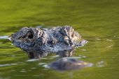 pic of bayou  - American alligator mostly submerged in the shallow water of a Florida wetland