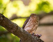 image of small-hawk  - A female cooper