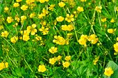 stock photo of marshes  - Field of yellow wild marsh marigold background - JPG