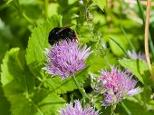 stock photo of chive  - blooming chives with a bumblebee macro selective focus shallow dof - JPG