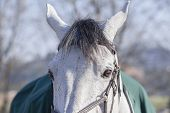 pic of pony  - Horse pony portrait head eyes closeup gray white fur colors - JPG