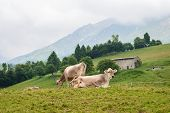 stock photo of italian alps  - In the picture of cows grazing in the mountains on the Italian Alps in the Valley Seriana  - JPG