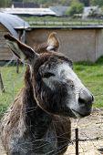 stock photo of jackass  - An ass posing over a farm fence - JPG