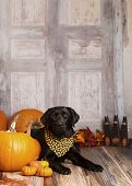 pic of gourds  - Beautiful Black Labrador Retriever next to pumpkins - JPG