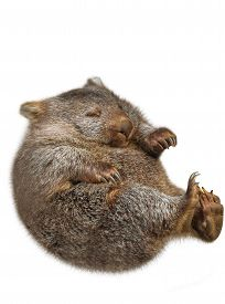 stock photo of wombat  - Sweet and tender little australian  wombat in position marsupial - JPG
