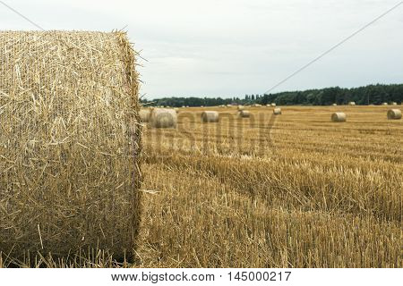 harvesting wheat field in summer in cloudy weather