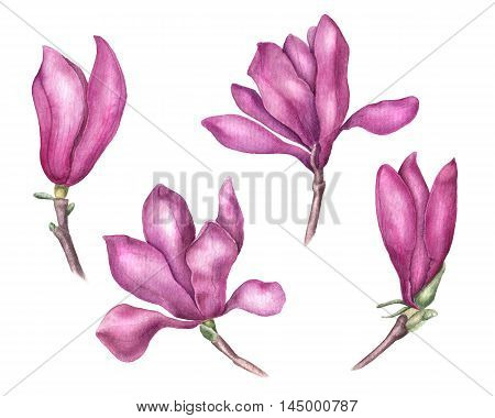 Set of delicate pink magnolia flowers, watercolor illustration isolated on white background. Collection of soft and feminine magnolia flowers for invitations, cards, banners and wedding decorations
