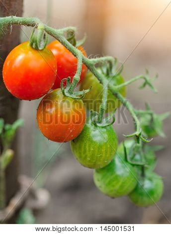 Ripe And Green Tomatoes Growing On The Vine