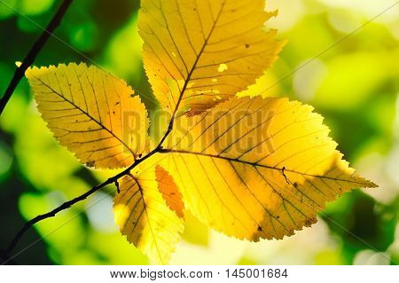 Autumn Yellow Leaves Of Hazel In The Sunlight In The Forest