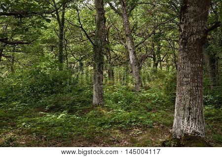 Relict Oak wood in The Woodland of Orgi, in Navarre, Spain