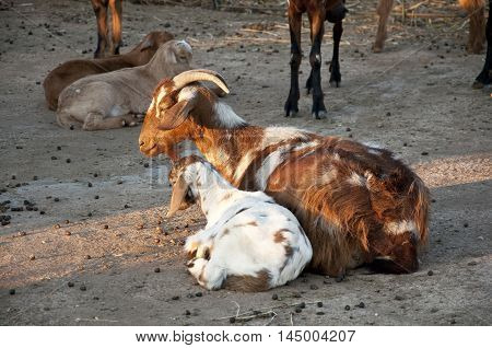 Her of goats in a farmyard in Ciudad Real Province, Spain