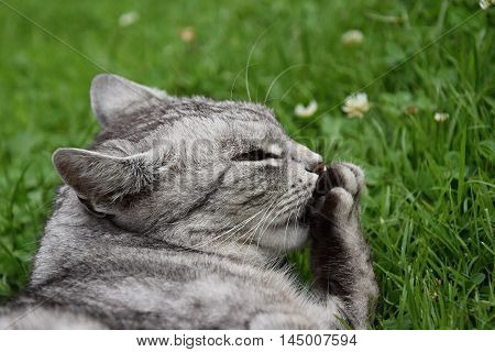 Tabby gray cat licking its paw. Gray cat.