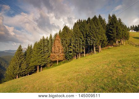 Fir trees forest with a diferent coloured tree