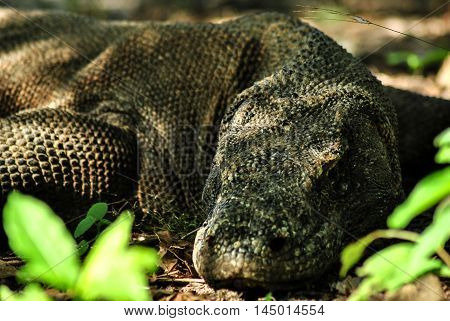 Sleeping Komodo Dragon in one of the villages in Rinca island.
