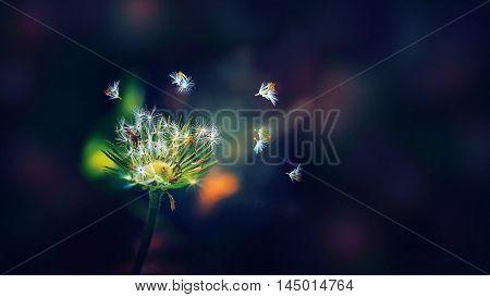 dandelions flower flowers petals plants seeds background macro