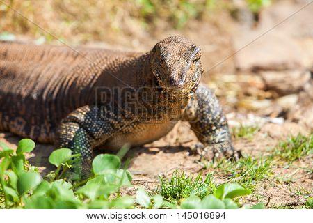 Huge Monitor lizard closeup - Hikkaduwa Sri Lanka