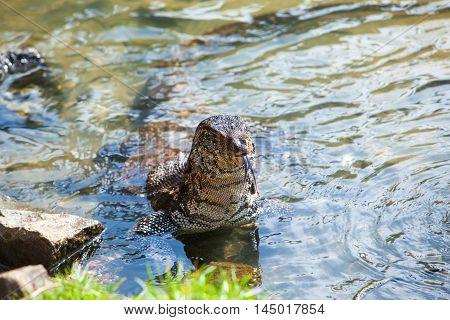 Huge Monitor lizard in the water - Hikkaduwa, Sri Lanka