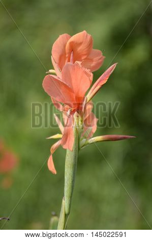 close up canna flower in nature garden