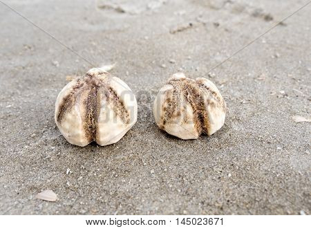 Heart shaped sea urchins shells and a crab on the shore of Dutch North Sea coastline
