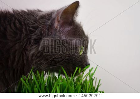 Cat sniffing the grass side view close up