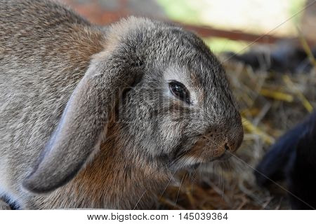 Brown rabbit in a hutch. Brown rabbit eating a food