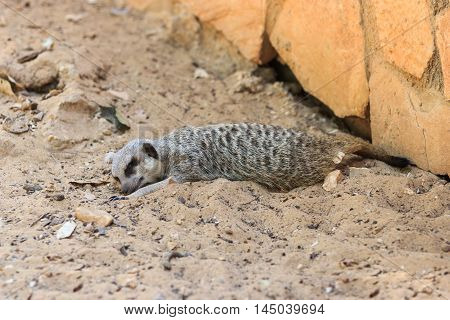 Meerkats Sleeping Afternoon On Sand Under The Sun