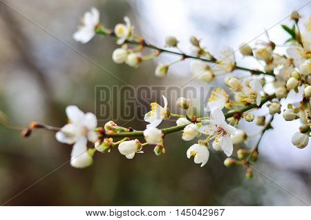 Blooming tree with white little spring flowers