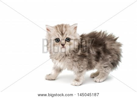 beautiful fluffy little kittens on a white background