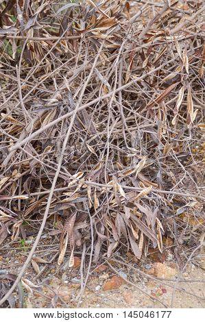 dry limb Leucaena leucocephala on the ground