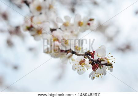 apricot tree blooms close up. Spring blooming