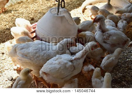 Chickens standing in the crowd at the feeder. Chickens at a poultry farm.