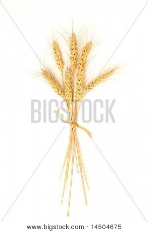 Isolated bunch of golden wheat ear after the harvest