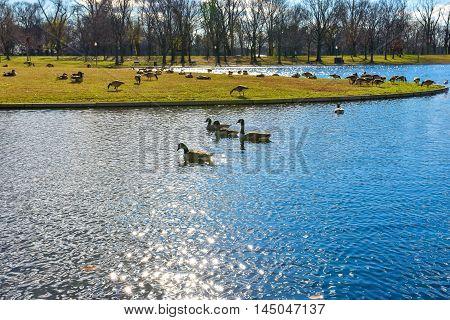 Birds on the Constitution Gardens lake. Washington DC, USA.