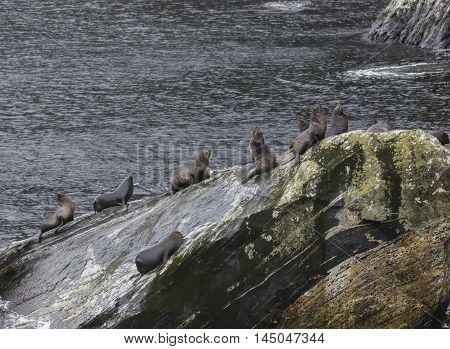 seal on rock coast in milforsound fiordland national park south island new zealand important traveling destination